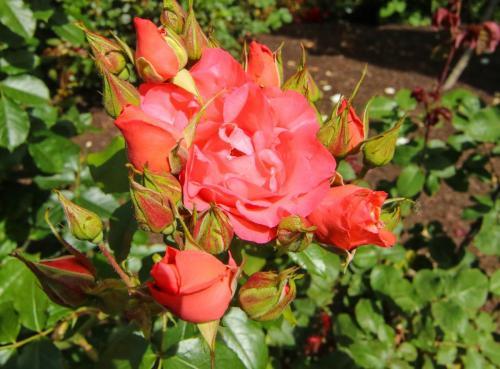 Rose-Test (10)
