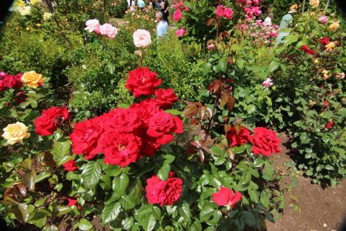 Rose-Test (15)