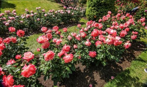 Rose-Test (18)