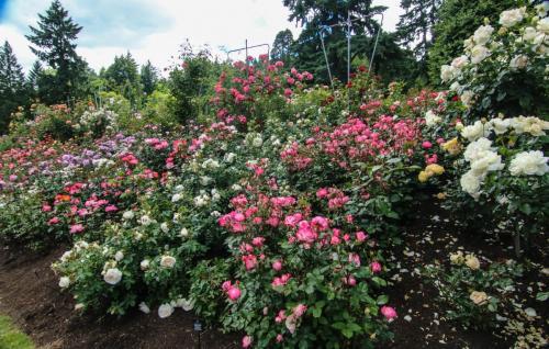 Rose-Test (20)