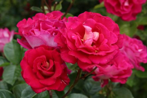 Rose-Test (21)