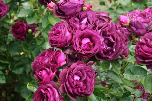 Rose-Test (22)
