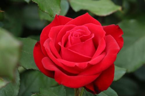 Rose-Test (25)