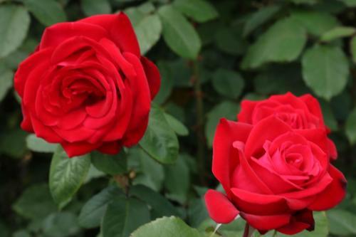 Rose-Test (26)
