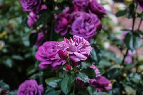 Rose-Test (3)