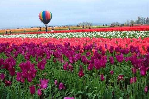 Tulip-festival (10)-2
