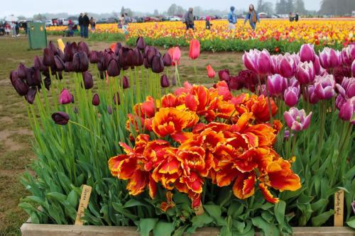 Tulip-festival (18)-2