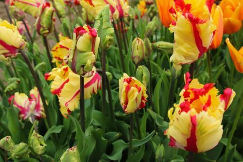 Tulip-festival (22)-2