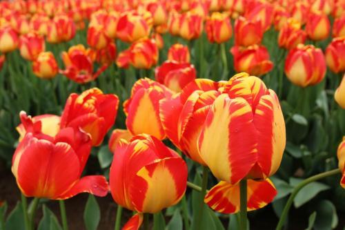 Tulip-festival (26)-2