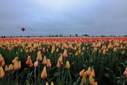Tulip-festival (3)-2