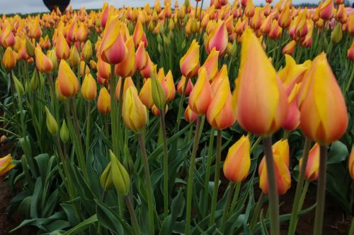 Tulip-festival (38)-2
