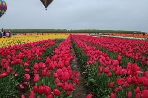 Tulip-festival (5)-2