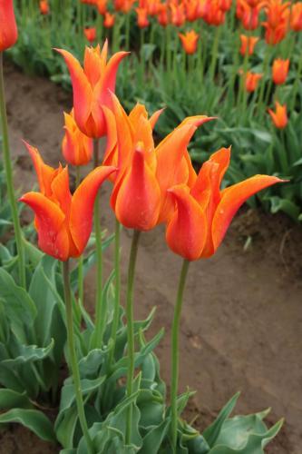 Tulip-festival (6)-2