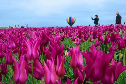 Tulip-festival (8)-2